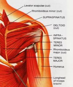 """Rotator cuff muscle group picture used from """"Principles of Anatomy and Physiology"""" - Sixth Edition. By G.J. Tortora and N.P. Anagnostakos. Published by Harper & Row - 1990"""
