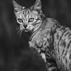 """Chat - Cat """" Peluche """" 05 (c)n(h) ) by Olao-Olavia / Okaio Créations 300mm f.2.8 canon eos 5 1989"""