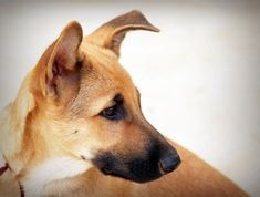 The most important thing you can teach your dog is to sit and stay on command. Anytime you are having behavioral problems with your dog, begin your training by reteaching him to sit and stay. Best Dog Training Books, Dog Training Classes, Dog Training Techniques, Dog Training Tips, Teach Dog To Come, Teach Dog Tricks, Top Dog Breeds, Best Dog Breeds, Chinook Dog