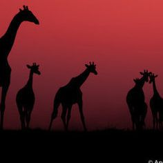 Giraffe Sunset by Andrew Schoeman