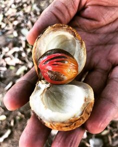 Nutmeg and Mace go hand in hand  Nutmeg is milder, sweeter and has more delicate taste when Mace is a little spicier with pepper and cinnamon  flavor.  One of the advantages of using whole nutmeg in shell☝️ stronger fragrance, more potent flavor, and it can stay fresh for many years. Use spice for sweet and savoury dishes 🥘  Mace is a fine addition to some spice mixtures as curry powder, garam masala, ras el hanout, and great in desserts and cocktails 🍸  Мускатный орех и Мацис идут рука об… Ras El Hanout, Stay Fresh, Curry Powder, Garam Masala, Savoury Dishes, Cinnamon, Spicy, Shell, Cocktails