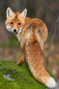 Beautiful Fox-Foxie, this is how you got your name, the first time I saw you you looked like a beautiful fox. You even had the white tipped tial.
