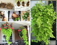 Learn how to grow sweet potato vines from Tubers. You can propagate quickly and easily and the results are superb. This is a very popular ornamental vine. Potato Vine Plant, Sweet Potato Plant, Sweet Potato Vines, Container Plants, Container Gardening, Potato Barrel, Growing Sweet Potatoes, Regrow Vegetables, Planting Potatoes