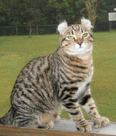 Our Highland Lynx Queens : SherBobsExoticCats.com