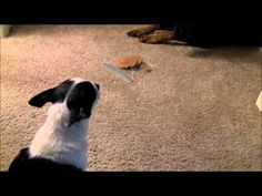 Doberman, Pit Bull and Chihuahua - A Cookie Standoff. Ans the winner is....