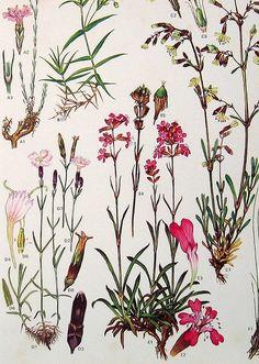 Vintage Botanical Prints Flowers   Flickr - Photo Sharing!