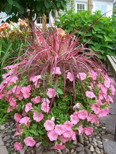 Shades of Pink with Purple fountain grass and a skirt of petunias create a long season container garden.