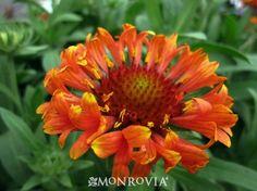 (GfFB) Gaillardia grandiflora 'Fanfare Blaze', 'Fanfare Blaze' Blanket Flower