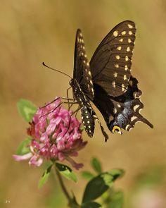 Female of Black Swallowtail