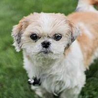 Hagerstown, Maryland - Shih Tzu. Meet BELLO, a for adoption. https://www.adoptapet.com/pet/21443553-hagerstown-maryland-shih-tzu