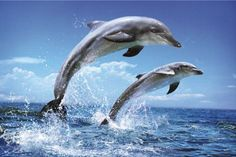 You do not even need to go on a boat to see the dolphins, they do come very near to the beach, especially late afternoon and you can see them playing and jumping. Beautiful sight.