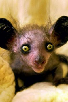 The Aye Aye possibly natures strangest looking creature