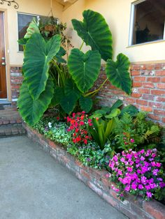 Great for that shady spot in the yard, I used these fabulous  Elephant Ears along with impatiens, hostas and dead nettles.  Makes for a great planter box. Picture by Cheri Ferguson