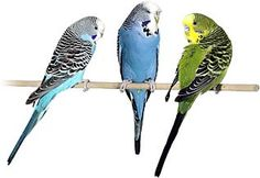 Keeping Budgies As Pets cage birds pet care trust although kept exercise outside