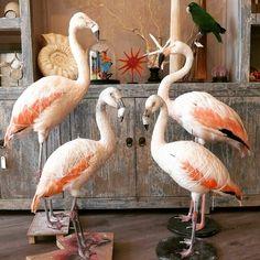Monday: Flamingo day! . #flamingo #taxidermy #taxidermist #taxidermyshop #artist #opzetten #preparateur #prepareren #opgezettevogels #birdtaxidermy #nijmegen www.demuseumwinkel.com