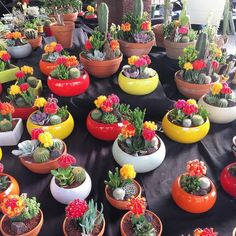 49 trendy ideas for mini succulent arrangements cactus Mini Cactus Garden, Succulent Gardening, Succulent Terrarium, Cactus Flower, Garden Planters, Flower Pots, Succulent Arrangements, Cacti And Succulents, Planting Succulents