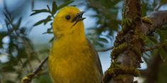 The mohua, or yellowhead, has been crowned New Zealand's Bird of the Year for 2013 in Forest  & Bird's ninth annual poll! #nzbirds