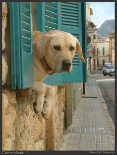 """Come closer... cloooooserrrrrrrrr..."" ---- [Yellow Labrador Dog from Saint Llorenc des Cardassar, Spain]~[Photograph by *Wirikos (K & W Szlosarczyk) - May 6.2007 on deviantART]h4d-260.2013"