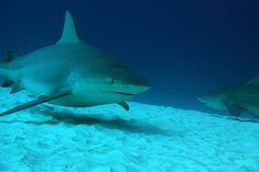 RIP the Bull Sharks of Playa del Carmen. I used to dive with them when I lived there - a healthy community of majestic sharks. Last month some cretinous fisherman slaughtered the whole school. I feel like I lost friends.
