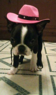 8456bcba767 1568 Best Boston terrier images in 2019