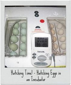 Hatching Eggs in an Incubator..... BEST PRACTICES FOR HATCHING DUCK EGGS IN A SMALL TABLE-TOP INCUBATOR  http://joybileefarm.com/hatching-duck-eggs/?