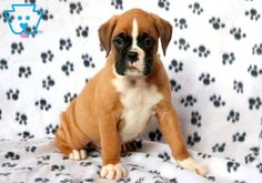 Pongo | Boxer Puppy For Sale | Keystone Puppies