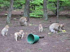 Visit to La Montagne des Singes - Barbary macaque monkey - Alsace region of France