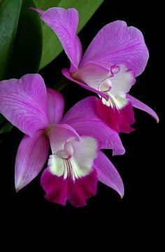 Cattleya Orchid                                                                                                                                                                                 Mais