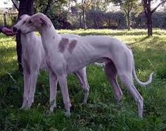 Hortaya Borzayas are shorthaired Asian sighthound breed originating in the former  Russian Empire. It is a dog of large robust build, of considerably elongated proportions.  It has a piercing sight, capable of seeing a moving object at a very far distance. In spite of its calm temperament the dog has a very active reaction to running game. Hortaya are excellent, enduring hunting dogs endowed with a good, basic obedience and completely lacking aggression towards humans.