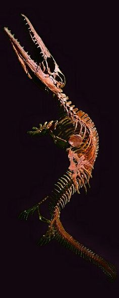 Clidastes is a genus of extinct mosasaurine lizard that lived during the Late Cretaceous Period from 99.6 million to 65.5 million years ago in North America, and Europe.Clidastes was an agile swimmer that probably swam by undulating its body, and preyed on cephalopods, fish and other small vertebrates in shallow water