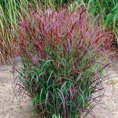 Latin name: Panicum virgatum 'Prairie Fire. Latin name: Panicum virgatum 'Prairie Fire. Landscaping Plants, Front Yard Landscaping, Garden Plants, Landscaping Ideas, Florida Landscaping, Backyard Patio, Prairie Fire, Prairie Garden, Landscape Design