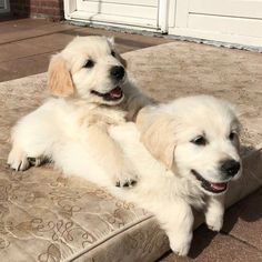 Golden Retriever Puppies Just some cute golden retriever pups hanging out, being adorable and puppy like Cute Puppies, Cute Dogs, Dogs And Puppies, Doggies, Cute Baby Animals, Animals And Pets, Beautiful Dogs, Animals Beautiful, Cute Puppy Photos