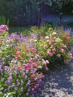 Rosorna är The Fariy och Summerwind Green Magic, Flower Beds, Companion Planting, Garden Flower Beds, Planting Roses, Big Garden, Cottage Garden, Plants, Edible Garden