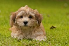 light brown havanese puppies - Google Search
