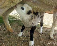 Natureza - Filhote resultado de cruzamento de bode com ovelha ...