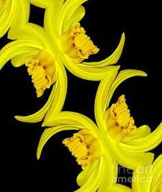 FOR SALE! PHOTOGRAPHIC ART!  ....Delightful Daffodil Abstract....  #photography #art #interiordecoration #interiordesign #prints #posters #iphonecases #cards #forsale #RoseSantuciSofranko #abstracts  #flowers #gardens #florals #nature #daffodils #yellow #Spring #bulbs