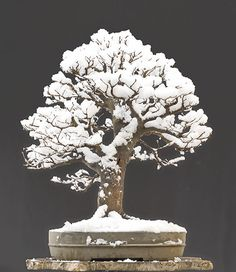 70 year old beech bonsai in winter