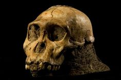 Los antecesores bípedos del género 'Homo', los 'Australpithecus', tenían una cara robusta, grande y musculosa. A medida que la evolución fue jugando sus cartas, los rostros de los