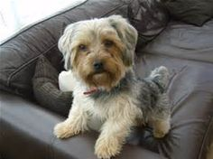 File:Billy the Yorkshire Terrier (Black and Tan).JPG - Wikipedia, the ...