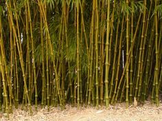 """Chimonobambusa tumidinoda zone 8 20' max. ht., 1 ¼ """" culm dia., running cold hardiness 10 °F. This bamboo is used to make walking sticks in China. It is unusual because of the swollen nodes, arching culms and delicate, feathery foliage. It can be used as a dense screen or the low branches can be pruned to show off the interesting culms. Will grow outdoors from Atlanta south and does best with shade."""
