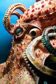 Giant Pacific Octopus Explore the depths of the ocean while keeping your feet dry! Schedule Your Octopus Encounter Explore the depths of the ocean . Pictures Of Sea Creatures, Deep Sea Creatures, Underwater Creatures, Underwater Life, Beautiful Creatures, Animals Beautiful, Le Kraken, Fauna Marina, Octopus Art