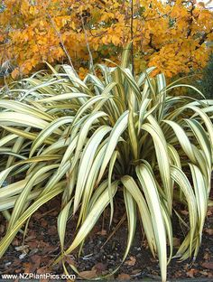phormium cream delight  2x3   texture and foliage accent in front and back