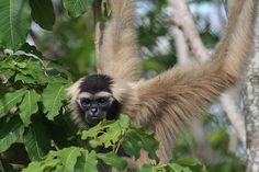 A pileated gibbon, a species found in the Central Cardamom Mountain Range, but seen here in Phnom Tamao wildlife rescue centre, Cambodia