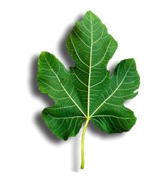 Fig-leaves provide a natural remedy for diabetes and much more! Fig Leaves, Tree Leaves, Plant Leaves, Black Mission Fig, Fig Recipes, Leaf Drawing, Leaf Images, Diabetes Remedies, Flu Remedies