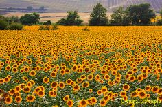 Miles of sunflower fields with mountains and hundreds of years old castles in the distance, France.