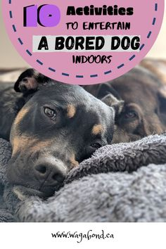 A bored dog has become a norm for a lot of us in these times. I've made a list of fun indoor activities you can get your dog to do to keep him busy and entertained. Read below to know more. Fun Indoor Activities, Dog Activities, Pet Dogs, Dogs And Puppies, Pets, Chihuahua Dogs, Puppy Quotes, Dog Playground, Best Dog Toys