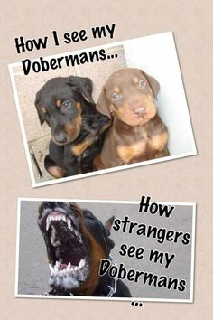 The Doberman Pinscher is among the most popular breed of dogs in the world. Known for its intelligence and loyalty, the Pinscher is both a police- favorite I Love Dogs, Puppy Love, Cute Dogs, Animals And Pets, Funny Animals, Cute Animals, Animal Fun, Doberman Pinscher Dog, Doberman Puppies