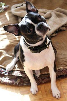 Morice Boston Terrier | Pawshake