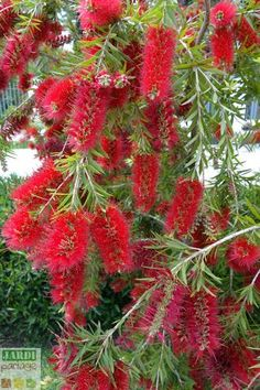 Rince bouteille: de l& au jardin & Jardipartage How to grow the Bottle Rinser (Callistemon) in a pot or in the ground in the South? Fake Plants Decor, Plant Decor, Flower Names, Patio Plants, Tips & Tricks, Desert Plants, Garden Borders, Garden Care, Plantar