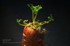 Pic: Green leaves sprouting from decaying carrot top